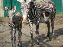 The Grevy's zebra foal, born November 19, is the offspring of Evita, 14, and Menelik, 12.