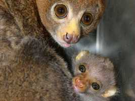 """""""Each birth is a significant step in preserving these fascinating animals. As with any new birth, we are closely monitoring the baby's health and development,"""" the zoo says."""