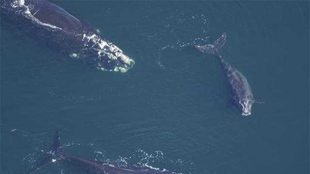 Right-Whales-1 - 19406991