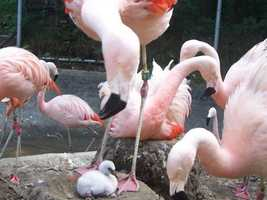 The staff at Franklin Park Zoo announced that Chilean flamingo chicks hatched at the Zoo in 2008