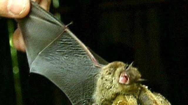 Little Brown Bat - 16757942