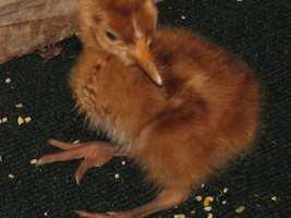 Siberian Crane baby Born May 12