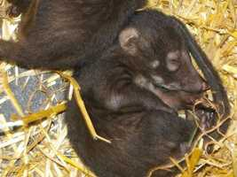 White-nosed coatis born May 14