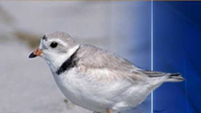 Piping Plover - 13746941