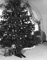President Nixon's dogs Vicky, Pasha and King Timahoe by the tree in 1971.