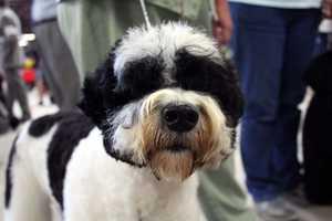 Black & White Portuguese Water Dog
