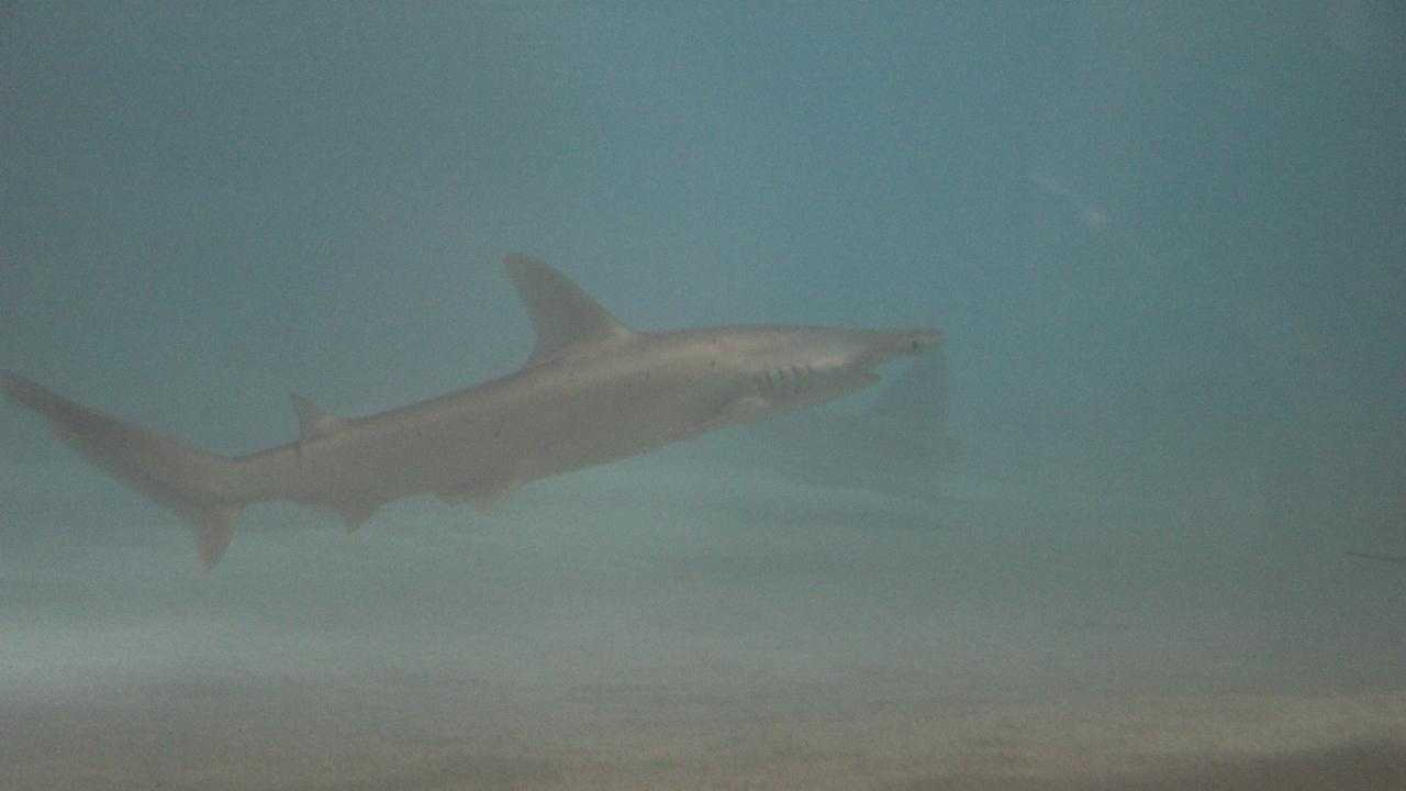 Bonnethead shark at aquarium - 27516525