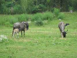 Wildebeest are large, high-shouldered antelope with a broad muzzle and cow-like horns native to the plains and acacia savannahs of eastern Africa.
