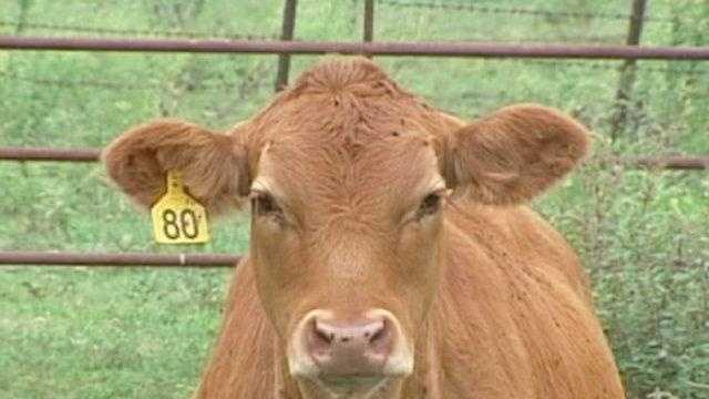 cow, cattle, farm animal generic - 17395193