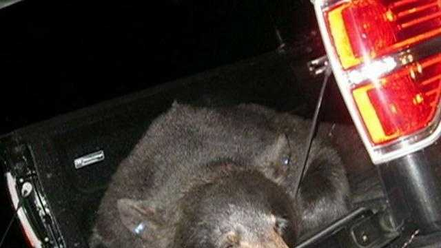 Cape Cod bear captured