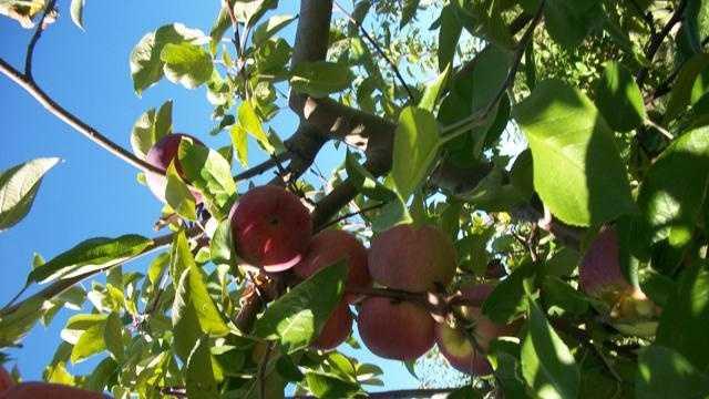 Apples On Tree - 29594298