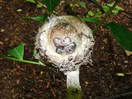 Two Costa's hummingbird hatched inside Butterfly Landing at the at Franklin Park Zoo in August 2012.