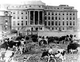 Children's Hospital Boston was founded in 1869. In 1919, specially bred cows graze in front of the Hunnewell Building. They provided safe, tuberculosis-free milk for patients.