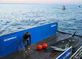 OCEARCH captures a huge Great White shark.