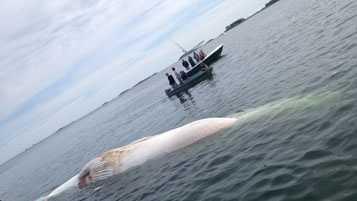 Deer Island whale