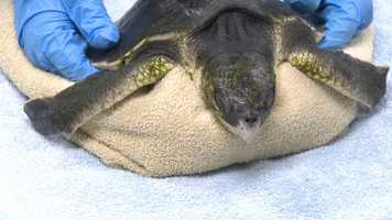 The two juvenile Kemp's Ridley sea turtles are being slowly re-warmed about five degrees per day at the New England Aquarium's Animal Care Center in Quincy.