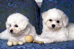 Growing up, JC's family had a Bichon Frise named Pookie