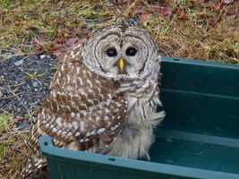 Using a pair of thick welding gloves, Sausville held the owl by the talons while the driver worked to remove its head from the grill. Sausville then placed the owl in a plastic pet carrier while it recovered from the incident. He released the owl back into the wild a few hours later where it flew off apparently uninjured.
