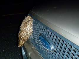The driver had been unable to avoid the owl when it swooped down to the road, presumably to catch prey.
