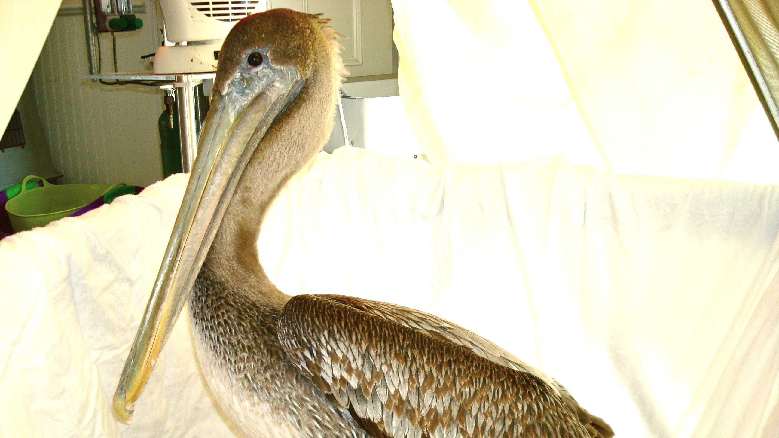 Brown Pelican Rescued On Cape