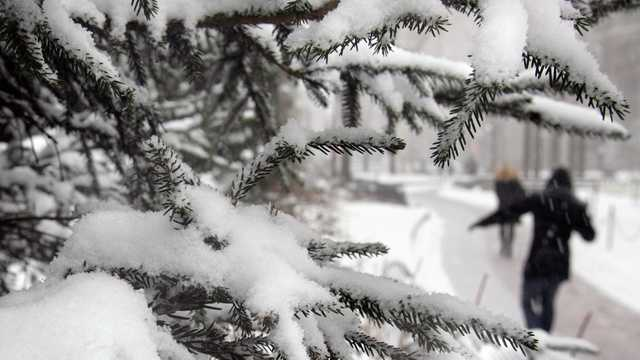 Snow on pine tree branch.jpg
