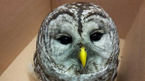 North End Barred Owl
