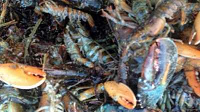 Nantasket Beach Blizzard Lobsters