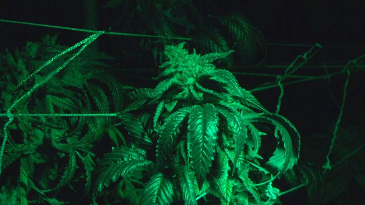Colorado-Marijuana-Growing  (5).jpg