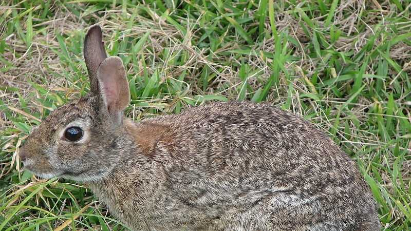 Cottontail rabbit, bunny