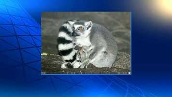 Nebbie gave birth on March 21 at the Franklin Park Zoo to twin lemurs.