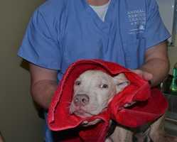 Anyone who has information about the dog is encouraged to call the Animal Rescue League of Boston at 617.226.5610.