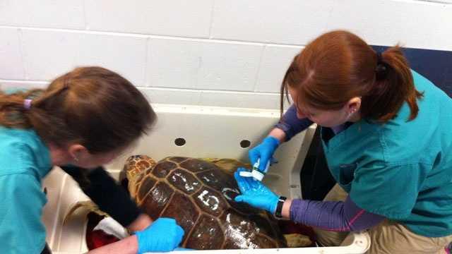 Endangered turtle 2