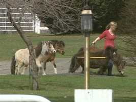 The miniature horses drive, jump and do obstacle courses.