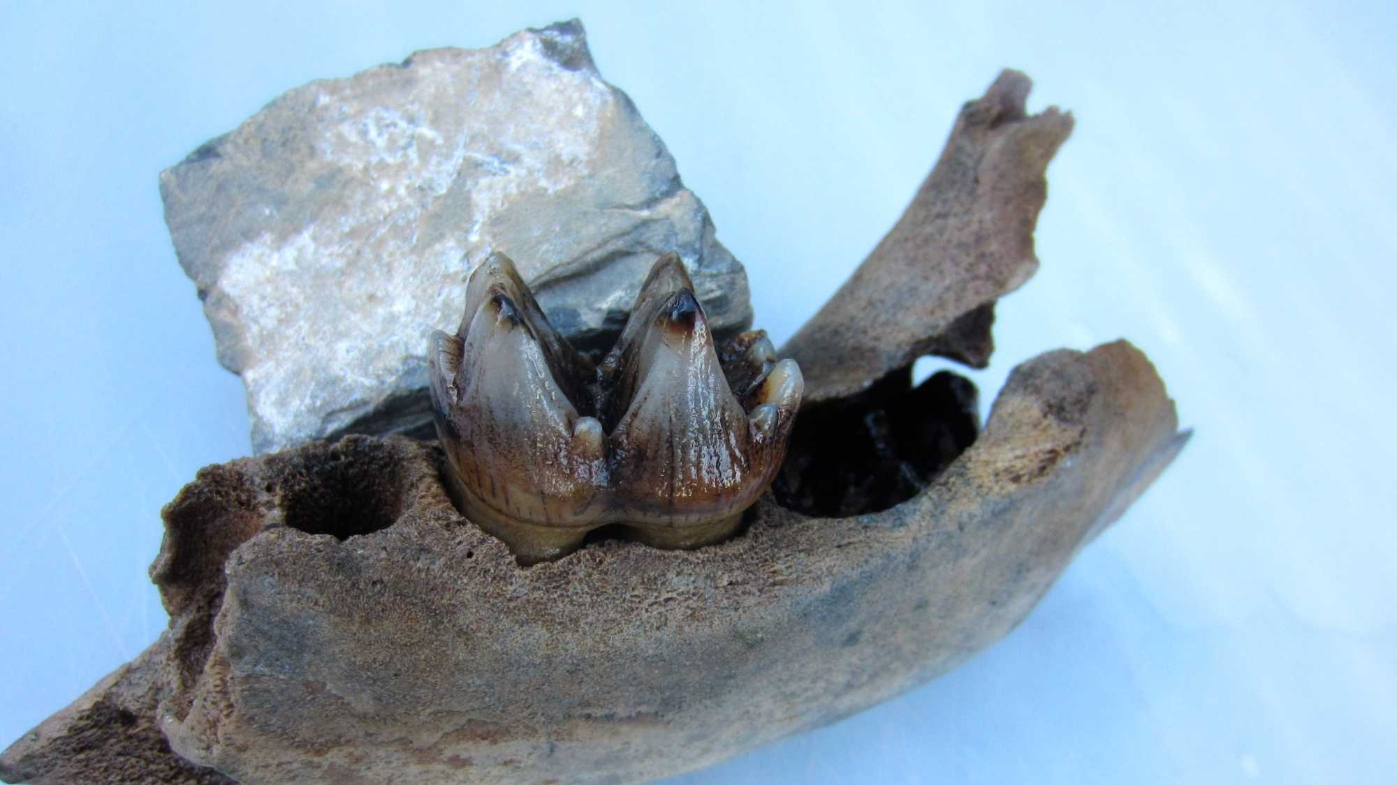Mastodon tooth 3 053113.jpg