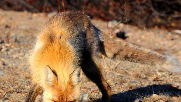 FILE: Fox