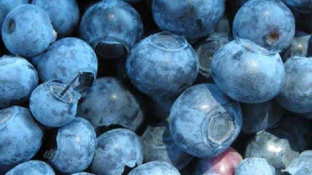 Blueberry season arrives in Massachusetts