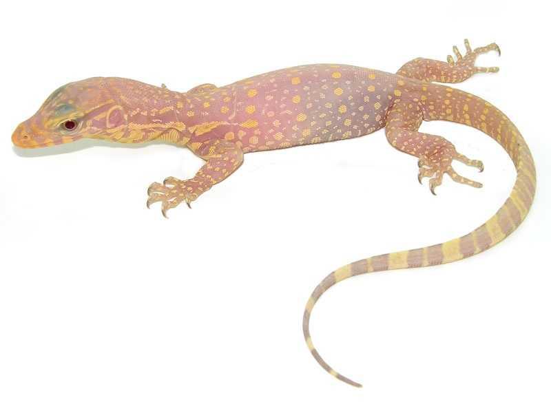 Albino komodo dragon