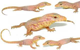 New England Reptile Distributors, Inc. bred the albino coloring from two different wild-caught lines of water monitor lizards.