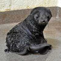 Ursula, a 15-year-old fur seal at the New England Aquarium, gave birth to a northern fur seal pup, her second in two years.