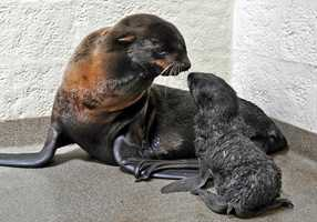 """I could hear Ursula calling as I walked down the hallway,"" said Kathy Streeter, the Aquarium's marine mammal curator. ""I thought she was still in labor, but when I entered I saw the pup laying a foot or so away from Ursula. Shortly thereafter, the pup and Ursula called to each other, but Ursula seemed exhausted and lay on her side so that the baby could find her and nurse."""