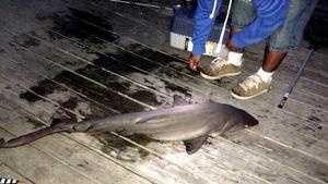 Boys tiger shark