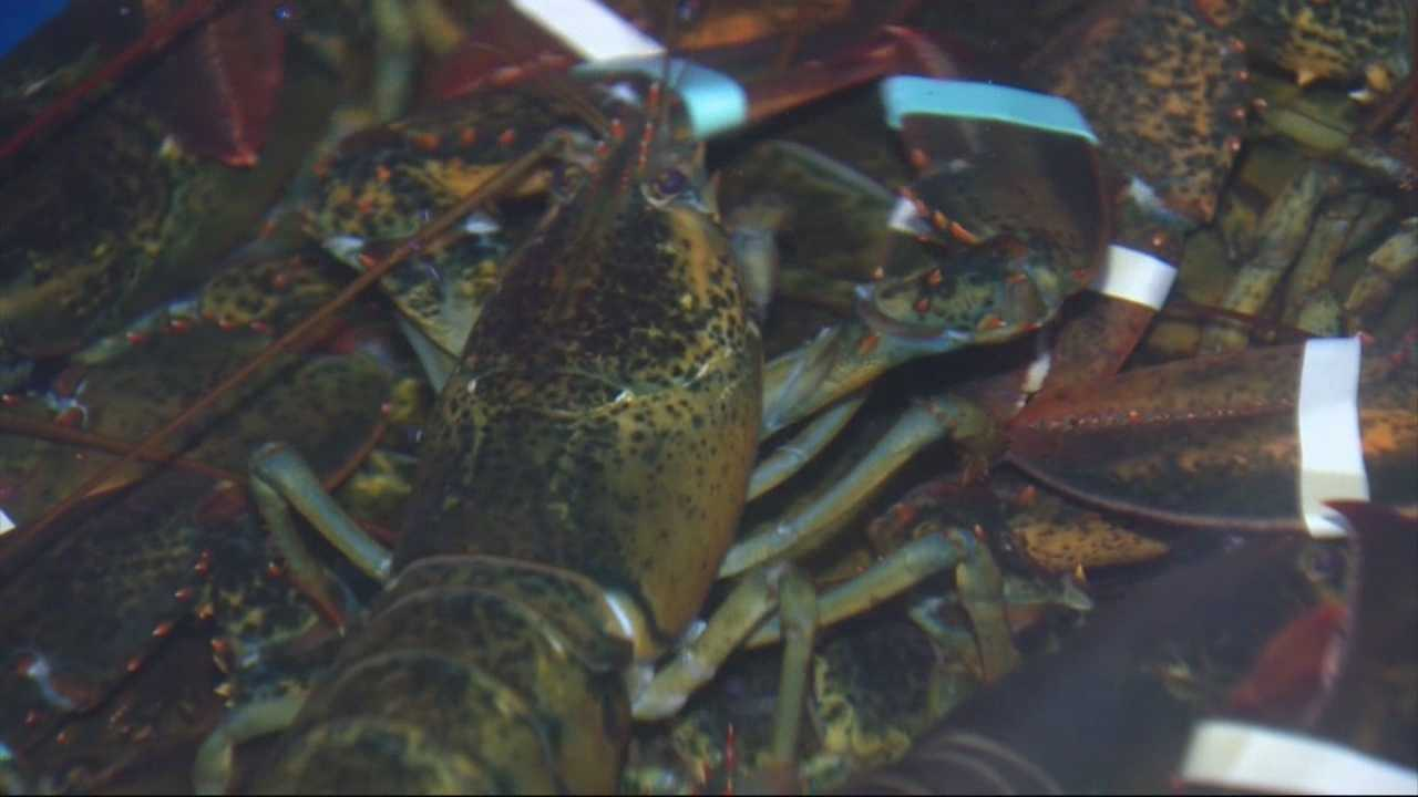 Lobster shell disease creeping northward