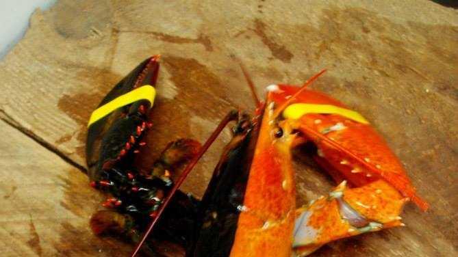 Bi Color Lobster.jpg
