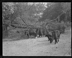 Animals and downed trees at the Franklin Park Zoo in Boston.