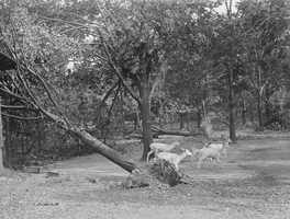 Animals navigate around fallen trees at the Franklin Park Zoo