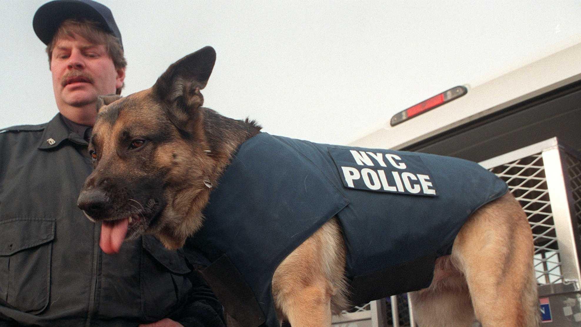 Dog with Bulletproof vest 093013