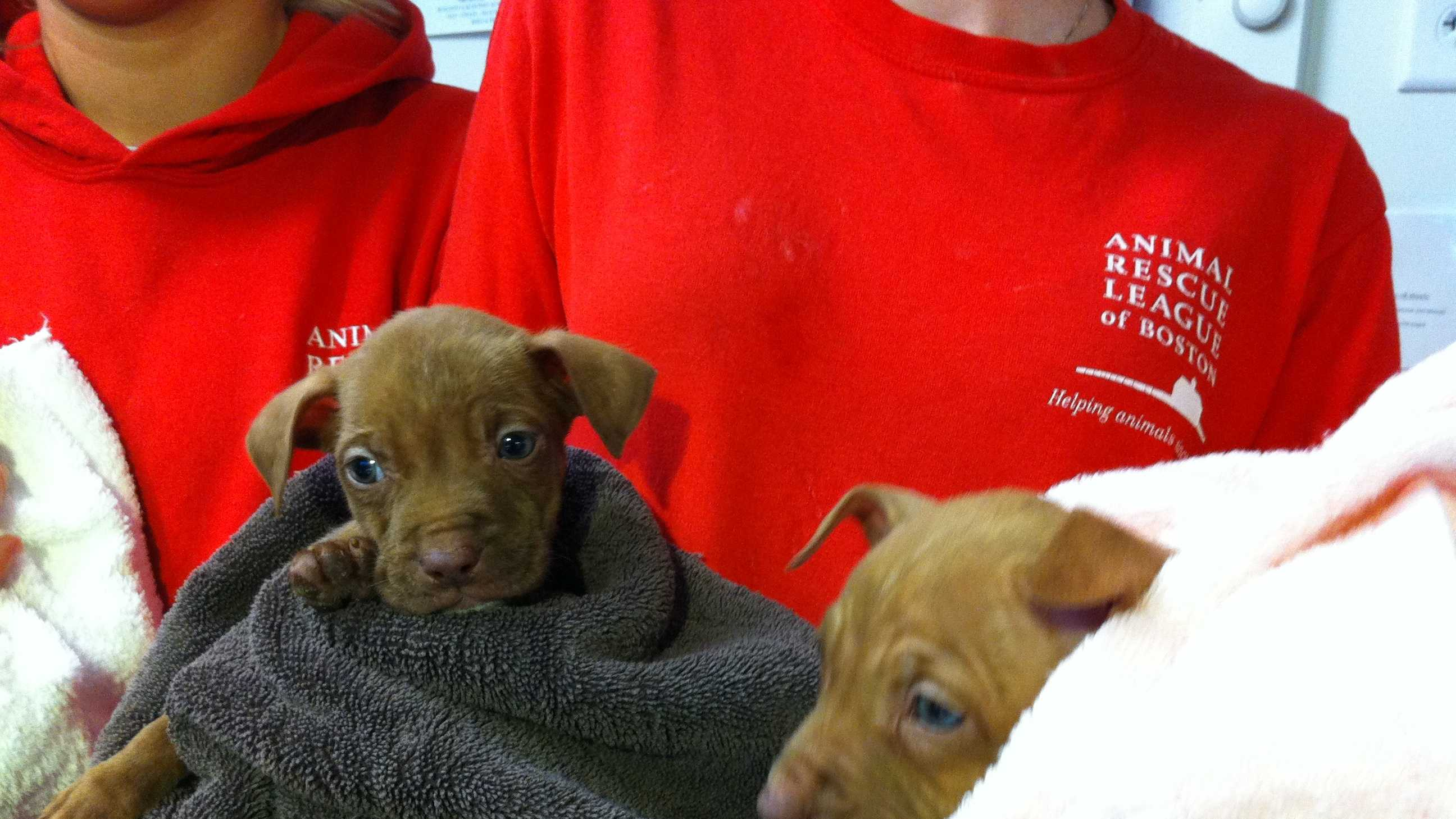Middleborough Rescued Pit Bulls