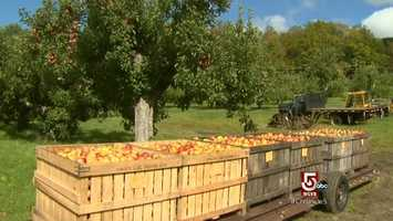 """This farm switched from Macintosh and Cortlands to antique varieties, or """"heirlooms"""". Among the heirlooms here are cider apples."""