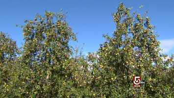 Officially, heirloom apples are at least 100 years old and not grown commercially.