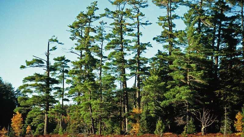 White Pine Tree 103113